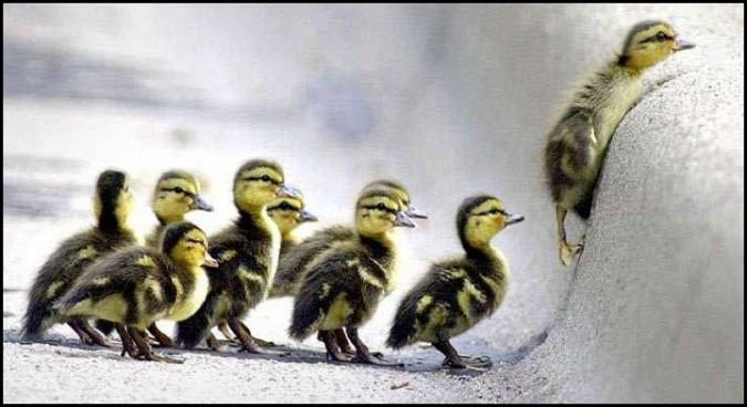 ducksfollowtheleaderaug31