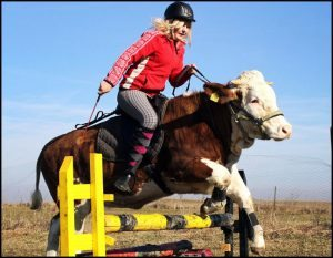 cow-jumping-hurdle-pic
